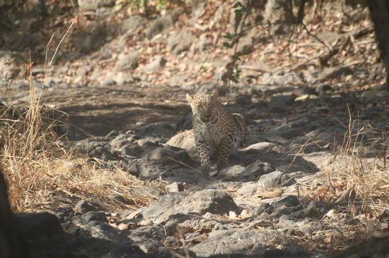 Gir National Park and Wildlife Sanctuary: Leopard