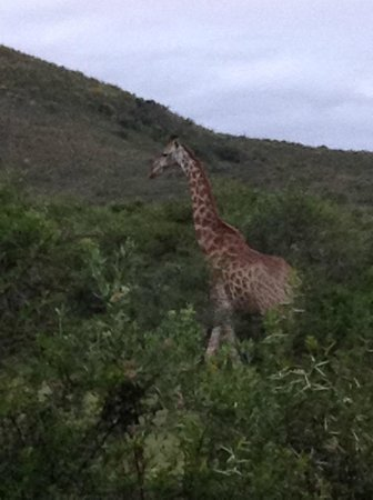 Nyaru Private Game Lodge: Giraffe at Nyaru