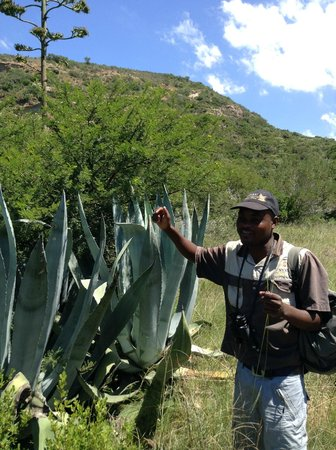 "Nyaru Private Game Lodge: Josphat explaining  the ""Mother in law"" cactus"
