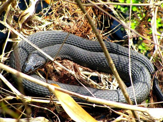 Six Mile Cypress Slough Preserve: One of Many Snakes We Saw