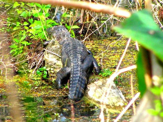 Six Mile Cypress Slough Preserve: Young Alligator