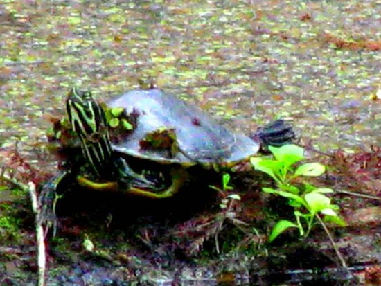 Six Mile Cypress Slough Preserve: Numerous Turtles