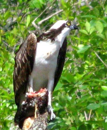 Six Mile Cypress Slough Preserve: Osprey