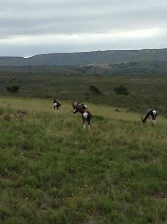 Nyaru Game Lodge: Bontebok (Antelope) Nyaru