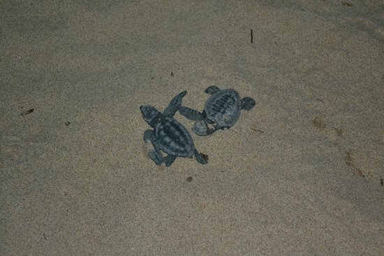 Daluyon Beach and Mountain Resort : Freshly hatched baby turtles