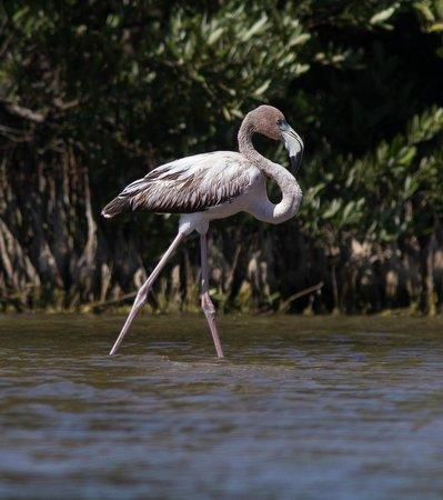 Península de Zapata National Park : Juvenile Flamingo
