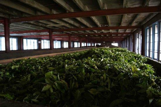 Bluefield Tea Gardens: Процесс отбора и сушки чая