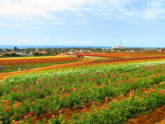 Hilton Garden Inn Carlsbad Beach: The Flower Fields (nearby)