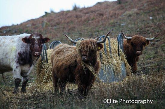 Lochside Guest House : Highland Cattle, near Loch Gare