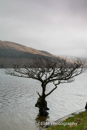 Lochside Guest House: An isolated tree on the shores of Loch Lomond at Firkin point
