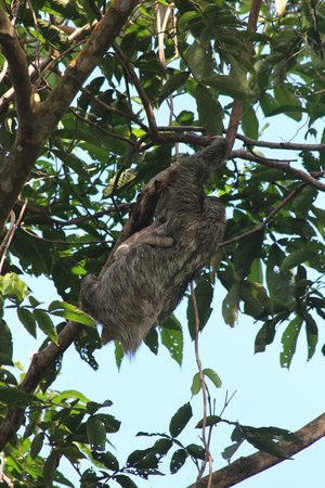 Red Frog Beach Island Resort & Spa: Sloth and Baby Sloth: Easily spotted in the trees around the island