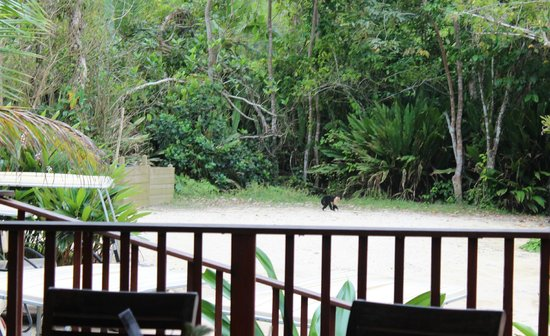 Red Frog Beach Island Resort & Spa : The elusive white-faced monkey made an appearance at Punta Lava while we were eating lunch!