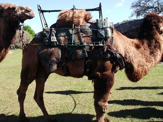 Giraffe Ranch : camels for riding