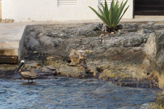 Hotel B Cozumel: visit from a Pelican