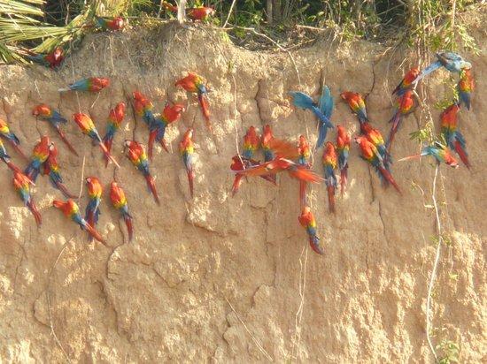 Madre de Dios Region, Peru: Collpas de Guacamayos en Tambopata