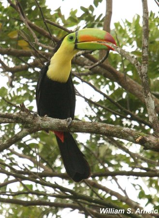 Yamwits Lodge: Keel-billed toucan - one of the birds seen from our verandah