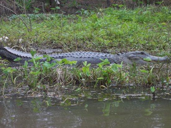 Cajun Encounters: bigger gator!!