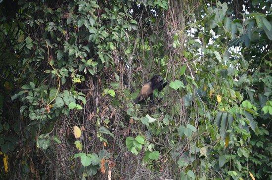 TikiVillas Rainforest Lodge & Spa: Howler Monkey eating dinner