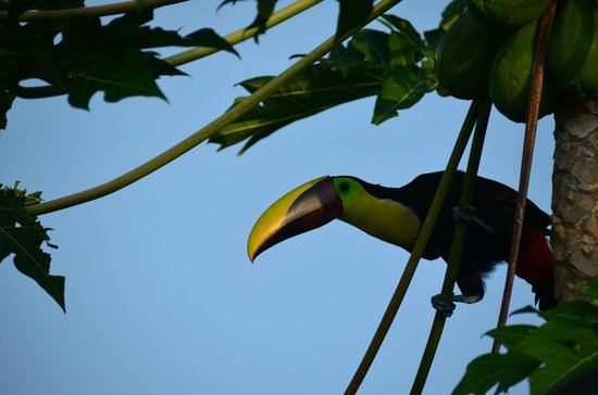 TikiVillas Rainforest Lodge & Spa: Toucan stopping byfor a visit