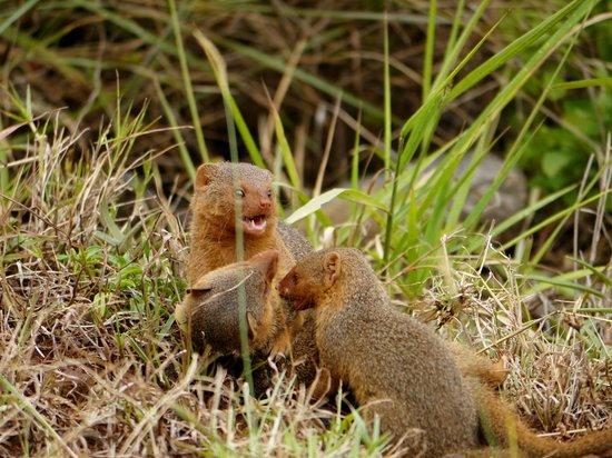 Mara Serena Safari Lodge: mongoose outside our balcony