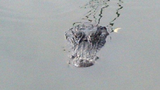 Fakahatchee Strand Preserve State Park & Boardwalk : Alligator up close