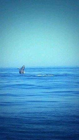 Puerto Vallarta Tours: Humpback whale breaching