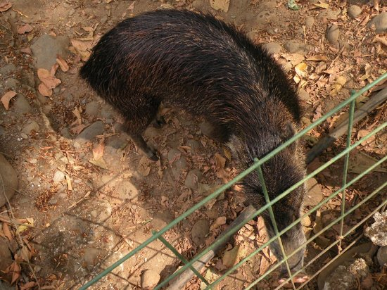 Proyecto Asis: peccary