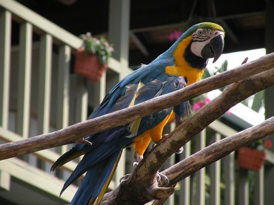 Proyecto Asis: Blue macaw