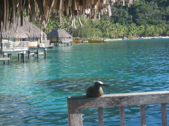 Maitai Polynesia Bora Bora: Bird on our deck