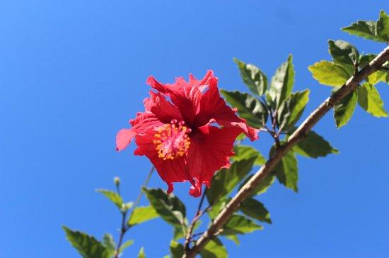 Kiskadee Lodge: hibiscus