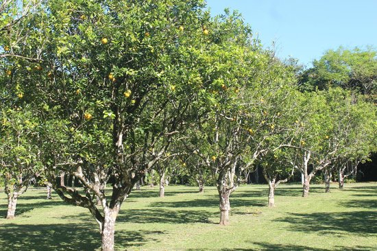 Kiskadee Lodge: orange trees in our front orchard