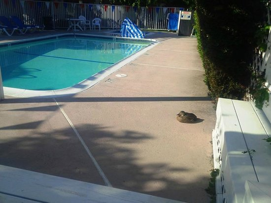 Best Western Westminster Inn: Duck relaxing on the pool deck