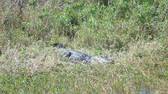Cypress Lake Airboat Tours : Alligator in Cypress Lake