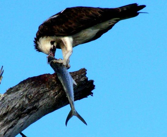 Fort Myers Beach, FL: Osprey and His Catch.