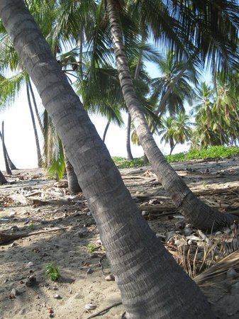 Miloli'i (Milolii) : The palms of Miloli'i