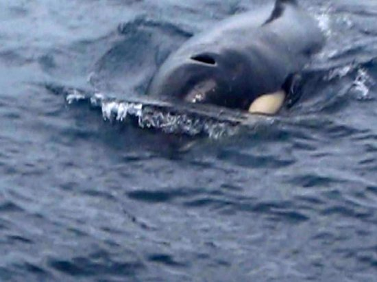 Compass Charters & Ocean Adventures - Day Tours: Orca's in Atauro Island