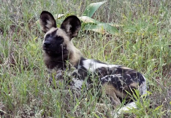 Lion World Travel - Day Tours : These wild dogs are SO cute...Ranger Nicky's favorite!