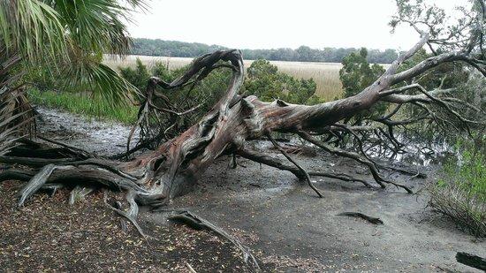 Wormsloe Historic Site: Cypress tree growing sideways