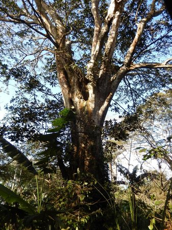 One of many Fig Trees at Mombacho Lodge
