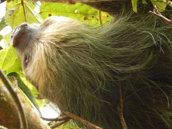 Mombacho Lodge: A resident Sloth of Volcan Mombacho