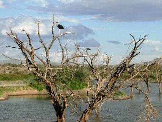 Swara Acacia Lodge: Marabou stalks at one of the dams