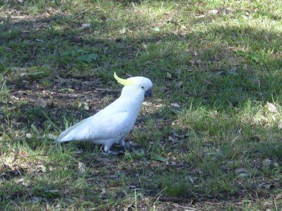 Raymond Island: close up cockatoo