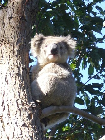 Raymond Island: close up  koala