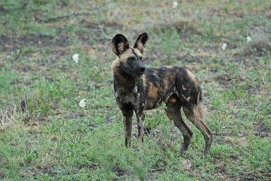Madikwe Hills Private Game Lodge: Wild Dog viewing