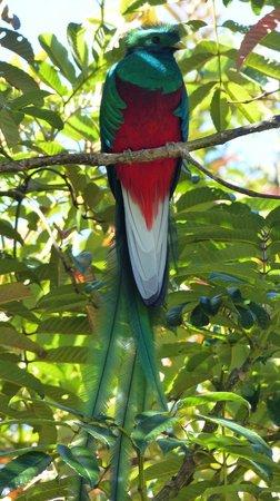 Phidjie Lodge : Quetzal vu à San Gerardo de Dota