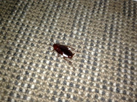 Metro Apartments On Darling Harbour: cockroach in the living area