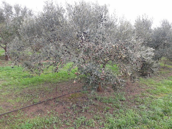 Le Verger: 1 of 843 olive trees, hand picked by the family