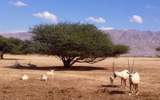 Hai Bar - Wildlife Reserve : Arabian Oryx