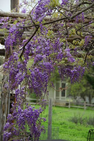 Welfare Cafe: blooming Wisteria in the arbor