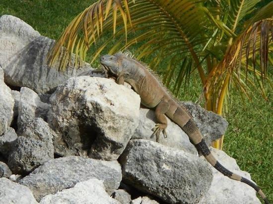 Melia Cozumel Golf - All Inclusive: iguanas